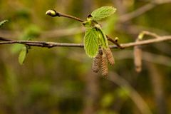 Alder branch with buds, young leaves and earrings royalty free stock image
