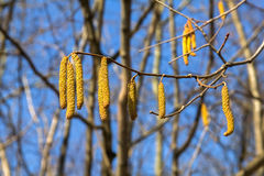 Alder Branch With Catkins Against The Sky And  Forest. Royalty Free Stock Photos