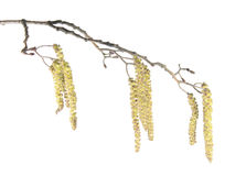 Alder branch with catkins isolated on white Royalty Free Stock Photos