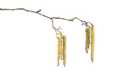 Alder branch with catkins isolated on white Stock Photography