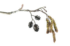 Alder branch with catkins isolated on white background Royalty Free Stock Photo