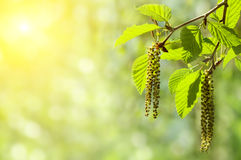 Alder branch with catkins Royalty Free Stock Image