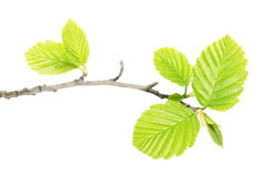 Alder branch with green leaves isolated on white background Stock Photo