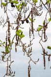 Alder branches with buds and leaves on a sky background. Spring Stock Photography
