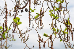 Alder branches with buds and leaves on a sky background. Spring Stock Images