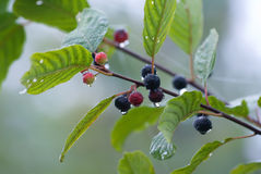 Alder buckthorn Stock Photo