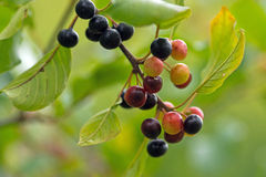 Alder buckthorn Royalty Free Stock Photo