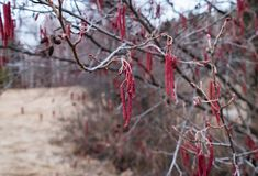 Alder buds bloom in spring in March, red, macro royalty free stock photography