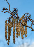 Alder catkins. Against a blue, late winter sky royalty free stock photography