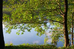 Alder on coast of lake. Branches of an alder growing on coast of lake Royalty Free Stock Images