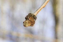 Alder is the common name of a genus of flowering plants Alnus belonging to the birch family Betulaceae. The genus comprises about 35 species of monoecious royalty free stock photos