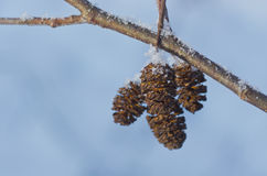 Alder cones Royalty Free Stock Images
