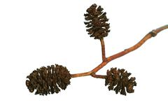 Alder cones. Dry alder cones. Close-up isolated image on white background Stock Photo