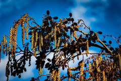 Alder cones and catkins Stock Images