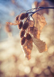Alder cones in fall Royalty Free Stock Photography