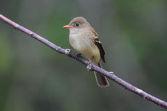 Alder Flycatcher Stock Photo