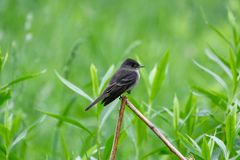 Alder Flycatcher #1. This is a Spring picture of a Alder Flycatcher perched on a limb in the Montrose Point Bird Sanctuary on Lake Michigan located in Chicago royalty free stock photo