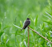 Alder Flycatcher #2. This is a Spring picture of a Alder Flycatcher perched on a limb in the Montrose Point Bird Sanctuary on Lake Michigan located in Chicago stock image