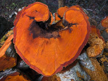 Alder Heart. A heart shaped slice of an Alder Tree.  I Aldore You is my pun for this one Royalty Free Stock Images
