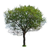 Alder. Isolated on a white background stock photos