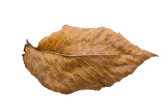 Alder leaf. Faded alder leaf. Isolated on white background Stock Photo