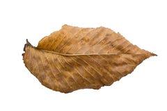 Alder leaf. Faded alder leaf. Isolated on white background Stock Images