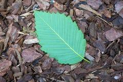 Alder Leaf on Bark Stock Photos