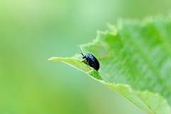 Alder leaf beetle Royalty Free Stock Images