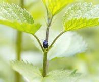 Alder leaf beetle Stock Photo