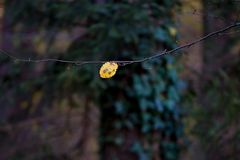Alder leaf on a dark autumn background in the woods Stock Photography