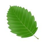 Alder leaf. Green leaf alder isolated on white background stock illustration