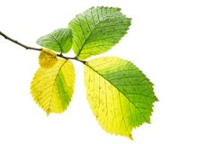 Alder leaves. Alder autumn leaves on a white background stock image