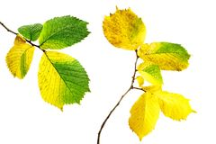 Alder leaves Stock Images