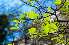 Alder leaves Stock Photos