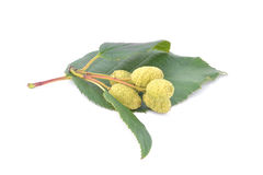 alder leaves with green cones   isolated on white background Stock Photo
