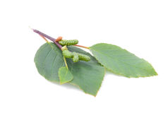 Alder leaves with green cones  isolated on white background Stock Image