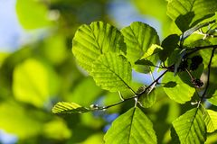 Alder leaves in sunlight. At summer stock photography