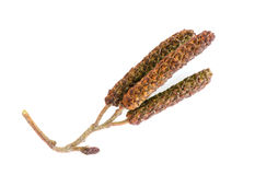 Alder seeds Royalty Free Stock Photography