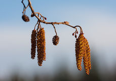 Alder in the spring Royalty Free Stock Photography