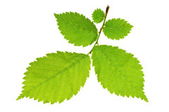 Alder tree Stock Photography
