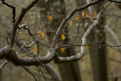 Alder Tree in Autumn. Alder Tree branches and yellow leaves in a Surrey forest, England, UK Stock Photo