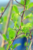Alder tree blossoming out in the spring Stock Photography
