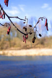 Alder tree branch on a background of blue river Stock Photography