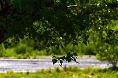 Alder tree branch, backlight Royalty Free Stock Photo