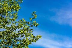 Alder tree branch Stock Images