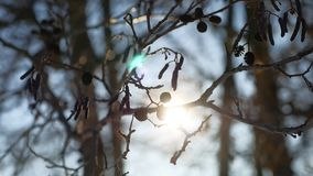 Alder tree branch buds swaying in wind spring nature offensive landscape Royalty Free Stock Photos