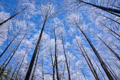 Alder tree canopy snow wrapped against blue sky Stock Photography