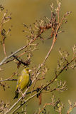 Alder tree greenfinch Royalty Free Stock Image
