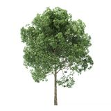 Alder. Tree isolated on white background. 3D rendering royalty free stock photos
