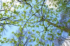 Alder tree with new leaves in the park in spring. Blue sky with clouds, an alder tree with  coming new leaves in the park in the village Spijkenisse on a sunny Stock Images